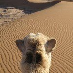 TREKKING WITH CAMELS – SAHARA STYLE